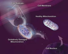 Damaged & Healthy Mitochondria